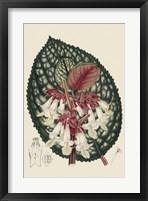 Framed Begonia Varieties III