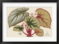 Framed Begonia Varieties IV