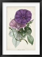 Framed Plum Morning Glory