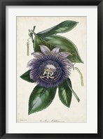 Framed Plum Passion Flower