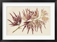 Framed Japanese Maple Leaves V