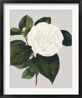 Camellia Japonica II Framed Print