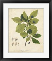 Framed Black Gum Tree Foliage