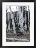 Pale Bark II Framed Print