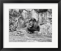 Lion II Framed Print
