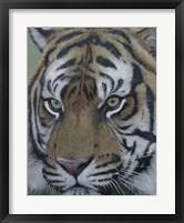 Framed Sumatra Tiger Face