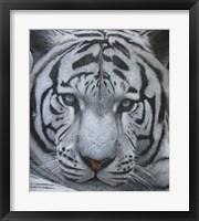 Framed White Tiger Jackson Hole