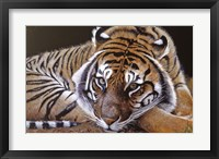 Framed Sumatran Tiger Resting