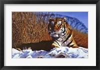 Framed Siberian Tiger In Snow