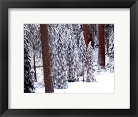 Framed Pines in Winter, California 95