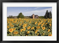 Framed Sunflowers & Barn, Owosso, MI 10