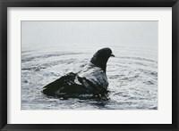 Framed Rock Dove Bathing