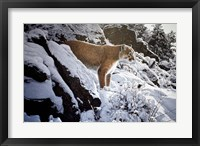 Framed Winter Lookout- Cougar