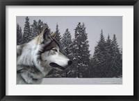 Framed Wolf Portrait