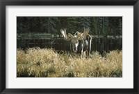 Framed Autumn Foraging - Moose