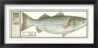 Framed World Record Striped Bass