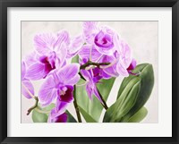 Framed Orchidee Selvagge