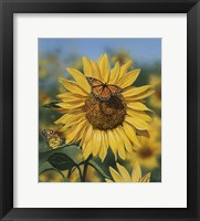 Framed Sunflower/Butterflies
