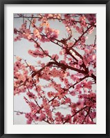 Framed Cherry Blossoms II