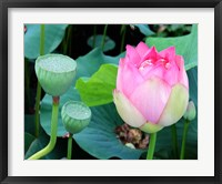 Purple Lotus I Framed Print