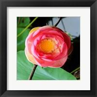 Red Lotus II Framed Print
