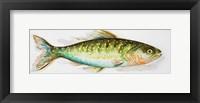 Watercolor Fish II Framed Print