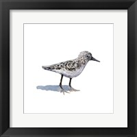 Sandpiper on White I Framed Print