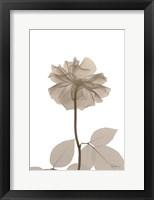 Framed Rose Cream 2