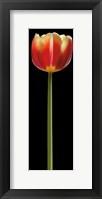 Framed Tall Orange Tulip
