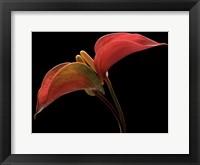 Framed Anthurium 2