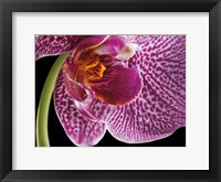 Framed Purple Orchid 2