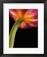 Framed Glowing Tulip