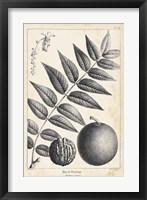 Framed Vintage Black Walnut Tree