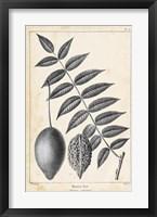 Framed Vintage Butternut Tree