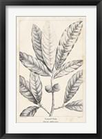 Framed Vintage Laurel Oak Tree