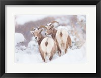Framed Bighorns Two