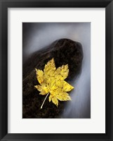 Framed Maple Leaf Stranded