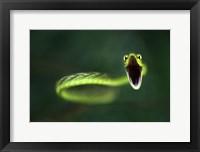 Framed Vine Snake