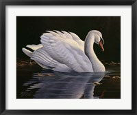 Framed Reflection - Mute Swan