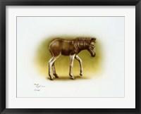 Framed Zebra Colt