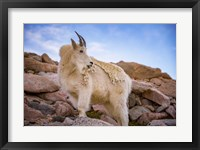 Framed Billy Goat Scruff