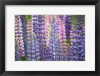 Framed Blue Pink Lupine Flowers