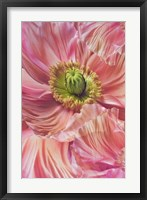 Framed Cerise Pink Poppy