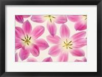 Framed Cerise Pink Tulips