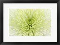 Framed Lime Light Spider Mum