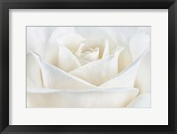 Framed Pure White Rose
