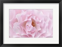 Framed Rose Pink Rose
