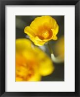 Framed California Poppy I