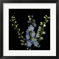 Framed Lighter Shade Of Pale - Delphinium Larkspur
