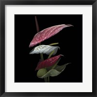 Framed Anthurium 2